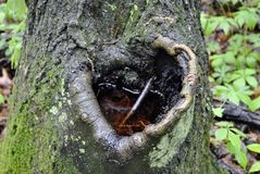 Heart-shaped notch. In a tree at Falling Timbers Battlefield Park Stock Image