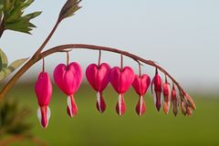 Heart shaped pink and white flowers of Bleeding heart. The heart shaped pink and white flowers of Bleeding heart, also known as Lyre flower or Lady-in-a-bath Royalty Free Stock Photos