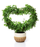 Heart shaped plant. Heart shaped ivy in a flowerpot. Isolated on white Stock Photos