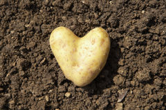 Heart shaped potato. Lying on the garden soil in bright daylight stock photos