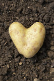 Heart shaped potato. Lying on the garden soil in bright daylight stock photography