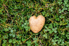 Heart shaped potato on green grass background Stock Image