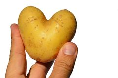 Heart shaped potato tuber Solanum Tuberosum held in three fingers of adult male man, white background Royalty Free Stock Images