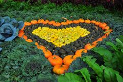 Heart shaped pumpkin growing Royalty Free Stock Photo