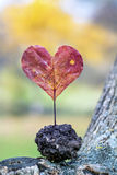 Heart-shaped red autumn leave .Love concept. Heart made of red autumn leave stock image