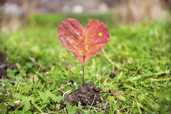 Heart-shaped red autumn leave .Love concept. Heart made of red autumn leave stock photography