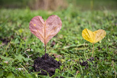 Heart-shaped red autumn leave .Love concept Stock Photos