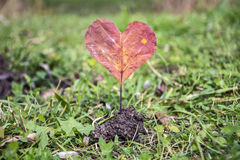 Heart-shaped red autumn leave .Love concept Stock Images