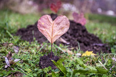 Heart-shaped red autumn leave .Love concept Royalty Free Stock Images