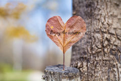 Heart-shaped red autumn leave .Love concept. Heart made of red autumn leave .enjoy the autumn stock image