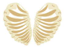 Heart Shaped Rib Cage Stock Images