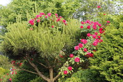 Heart-shaped roses Royalty Free Stock Photo