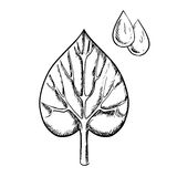 Heart shaped sappy leaf and water drops. Heart shaped sappy leaf with pointed tip, deep notch at the base and detailed veins with water drops in upper corner  on Stock Image