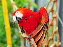Heart shaped Scarlet Macaw bird, Florida Royalty Free Stock Images