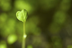 Heart shaped seedling Stock Photo