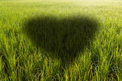 Heart shaped shadow in a rice field Stock Image
