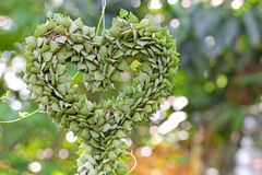 Heart-shaped succulent plant named Million Hearts Stock Images