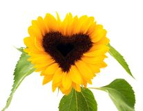 Heart-shaped sunflower. The head of a sunflower shows a heart-shape Royalty Free Stock Photography