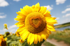 Heart shaped sunflower Stock Photos