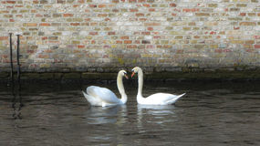 Almost Heart-shaped. Swan couple, forming a heart with their necks on a canal in romantic Bruges Stock Photography