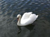 Heart shaped swan floating on river stock photography