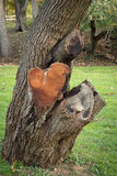 The Heart-Shaped Tree Royalty Free Stock Photos