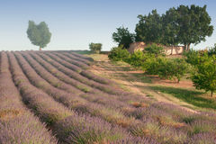 Heart-shaped tree on a hill in a lavender field with a small farmhouse. Royalty Free Stock Photo