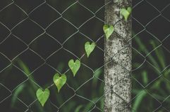 Heart Shaped Vine Crawling up Fence stock images