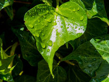 Heart-shaped wet plant Stock Images