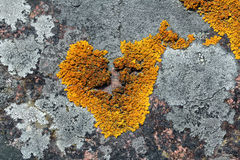 Heart shaped Xanthoria parietina lichen on stone Royalty Free Stock Image