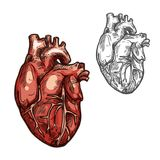 Human heart organ vector sketch icon. Heart sketch icons of human organ. Vector isolated heart ventricle and blood vessels vital organ of cardiovascular system Stock Photo