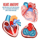 Heart structure, medical and anatomy poster. Anatomy of heart, human coronary organ with atrium and aorta, vein and artery for blood pulsation. Medical education Stock Photos