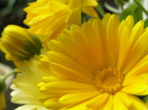 Heart of the sun. Photograph of an extremely bright yellow calendula flower Royalty Free Stock Images