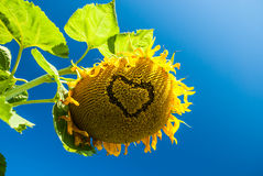 Heart on sunflower Royalty Free Stock Photos