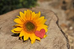 Heart and sunflower Stock Images