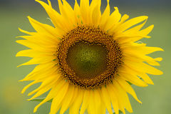 Heart of sunflower Royalty Free Stock Images