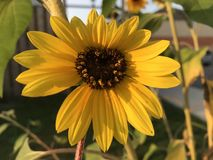 Heart sunflower Royalty Free Stock Images