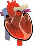 Heart system Stock Photography