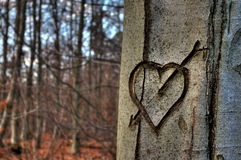 Heart in a Tree. A heart in front of other trees in a forest royalty free stock image