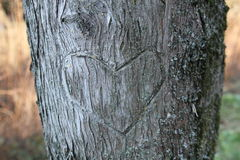 Heart on tree. Detail of a heart outline engraved on the bark stock images