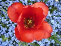 Heart of the tulip flower Stock Image