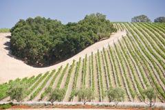 Heart of the Vineyard. Heart-shaped cluster of oaks amid a California hillside vineyard stock images