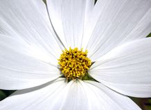 The heart of a white flower Royalty Free Stock Image