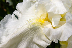 Heart of a white iris in close-up Stock Photography