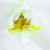 Heart of White Moth Orchid flower - square Royalty Free Stock Images