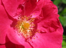 Heart of wild rose Royalty Free Stock Photo