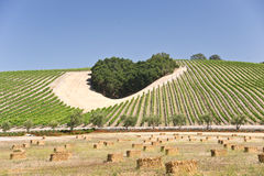 The Heart of Wine Country. Heart-shaped cluster of oaks amid a California hillside vineyard royalty free stock image