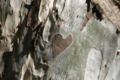 Heart on wood. Heart shape on a eucalyptus tree Stock Image