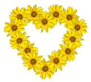 Heart of yellow flowers of decorative sunflowers Helinthus isolated stock images