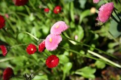 Heartfelt pink and red zinnias Stock Image